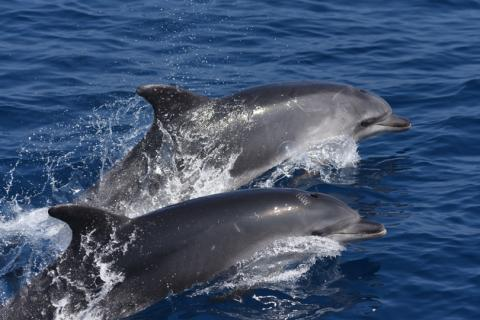 Grands dauphins (Tursiops truncatus) dans le parc naturel marin du Golfe du Lion